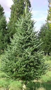fraser fir tree fraser fir tree in the garden the most common endangered plants