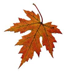 maple leaf free download clip art free clip art on clipart