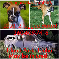 3 legged boxer dog update famous 2 legged dog found in fremont county quarry east