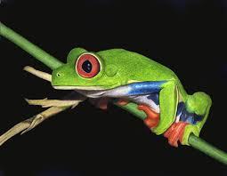 eyed tree frog original drawing corrina thurston