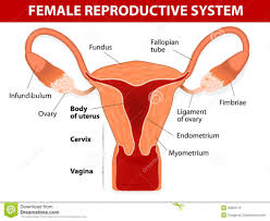 Male And Female Anatomy Human Reproductive System Male And Female Male Reproductive System