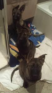 belgian sheepdog rescue colorado scenes belgian shepherd rescue australia encountered at an illegal