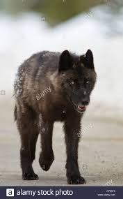 belgian sheepdog alberta a gray wolf walks along a road in banff national park alberta