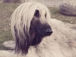 afghan hound dog images 101 best afghan hound images on pinterest afghans afghan hound