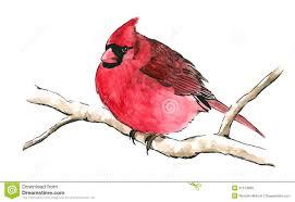 red cardinal bird on tree branch royalty free stock photo image