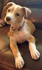 american pitbull terrier mix best 25 terrier pitbull mix ideas on pinterest pitbull terrier