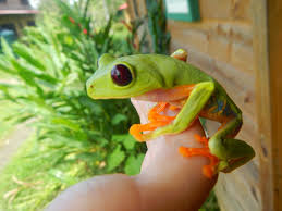 our herp class the red eyed tree frog