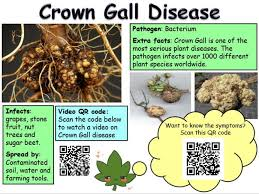Symptoms Of Plant Disease - plant diseases for ocr 21st century science gcse interactive