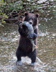 Bears Montana Hunting And Fishing - hunting trips cabinet mountains between libby kalispell mt