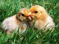 Backyard Chickens Com - how to raise chickens backyard chickens
