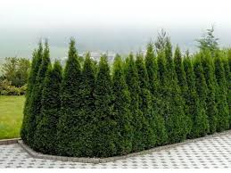 era nurseries buy trees online wholesale australian native buy arborvitae emerald green online free shipping over 99 99
