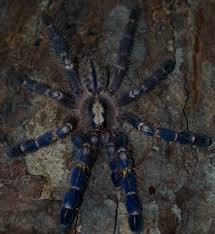 may 2015 tarantula of the month poecilotheria metallica tarantulas
