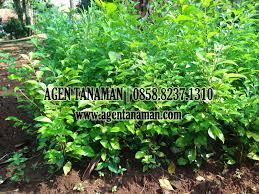 Teh Tehan jual pohon teh tehan tanaman pagar agen tanaman