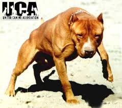 american pitbull terrier dog images american pit bull terrier information and pictures united canine