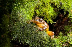 extinct u0027 frog rediscovered after 150 years eats mom u0027s eggs