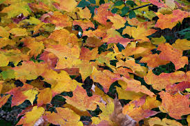 autumn maple leaf collage foliage free nature pictures by