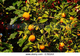 orange tree citrus aurantium with fruit and blossom northern