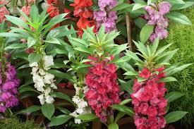 flowers in garden images balsam flower in korean folk medicine this impatiens species is