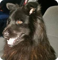 belgian sheepdog ohio bunnell fl belgian shepherd chow chow mix meet charlie a dog