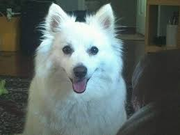 american eskimo dog price in india what are the best dog breeds suitable for indian enviornment