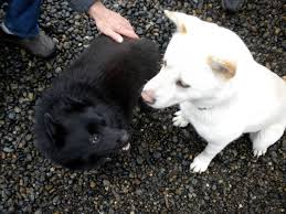 american eskimo dog small favorite breed of dog page 10 forum supercar exotic cars