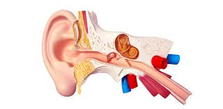 The Human Ear Anatomy Ear Review Quiz Proprofs Quiz