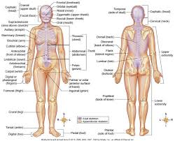Anatomy And Physiology Chapter 1 Review Answers Chapter 1 Diagrams Directional Terms And Cavities Mr I U0027s