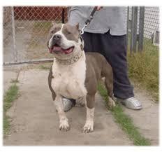 american pitbull terrier gotti razors edge pitbull history nola blue pitbulls
