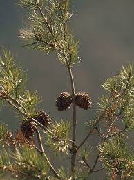 raymond gehman pine cones at the top of a small pine tree painting