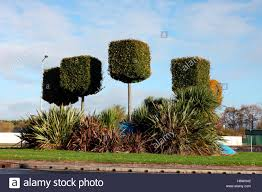 topiary trees topiary trees on a traffic island in dundalk stock photo royalty