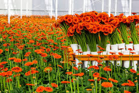 cut flowers top 10 cut flower exporters in the world hortibiz