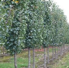 pyrus calleryana capital landscaping gardens