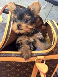 pictures of shorkie dogs with long hair yorkie hair yorkshire terrier information center