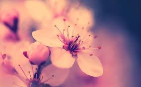 cherry blossom wallpaper ahdzbook wp e journal
