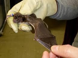 vampire bat wing why evolution is true
