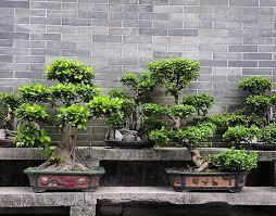 the bonsai brisbane bonsai trees tools styling workshops