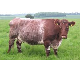 best 25 cattle for sale ideas on pinterest miniature cows