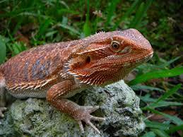 brightest red beardie breeder u2022 bearded dragon org