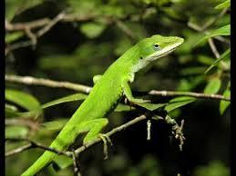Backyard Reptiles Lizards Of Georgia Youtube