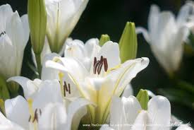 white lilies leave the lilies outside toxic plants and cut flowers the