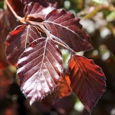 native hedging plants uk instant purple beech hedges ready grown copper beech hedge screen