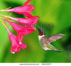 Hummingbird On A Flower - rubythroated hummingbird stock images royalty free images