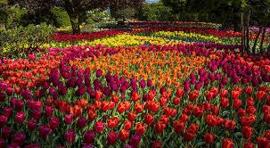 tulips flowers tulip bed park garden tulips flowers flower hd live wallpaper