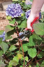 hydrangea flowers planting hydrangeas pruning hydrangeas hydrangea care