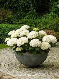 White Hydrangeas White Hydrangea In Bowl Pot White Gardens Pinterest