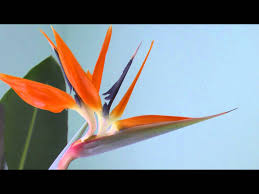 bird of paradise flower bird of paradise flower
