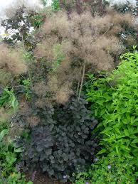 Wildfire Black Gum Tree by Purple Smoketree U0027royal Purple U0027 Garden Housecalls