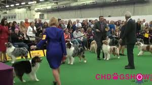 thanksgiving day dog show 137th westminster dog show australian shepherd bob mp4 youtube