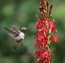cardinal flower cardinal flowers and hummingbirds pollination perfection eye on