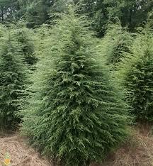 canadian hemlock trees for sale eastern hemlock for sale the